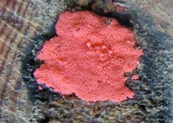 Pink Mold On Wood